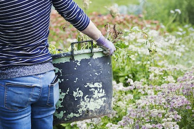A woman carrying a large garden bucket through flowers in a flowering bed.