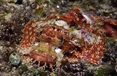 Tasseled scorpionfish, Scorpaenopsis Oxycephala, camouflaged and hiding on the seabed, Papua New