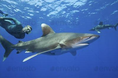 Snorkeler freedives behind an Oceanic Whitetip shark.