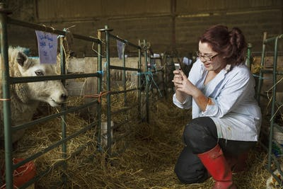 Young woman standing a stable next to a sheep pen, taking picture of a sheep with a mobile phone.