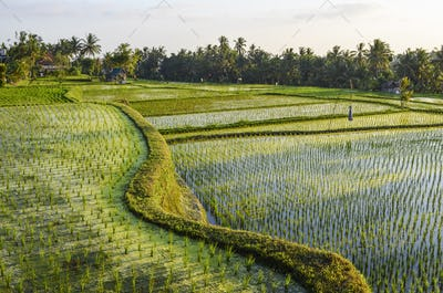 Small green rice plants growing in the shallow paddy fields, rice paddies with mud dividing walls,