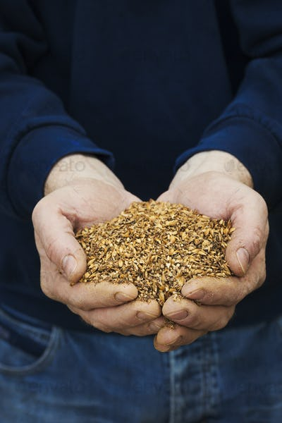 Close up of human hands holding golden malt, a major ingredient for flavouring craft beer.