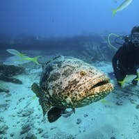 Divers observe a large Goliath grouper on the wreck of the City of Washington.