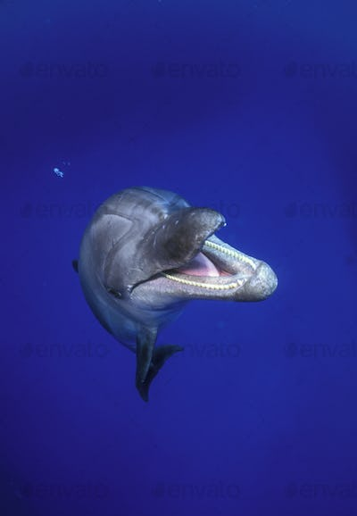 Atlantic bottlenose dolphin underwater, back arched looking inquisitively around.
