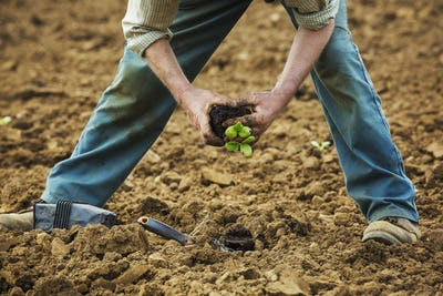 A man bending over, planting a small plant in the soil.