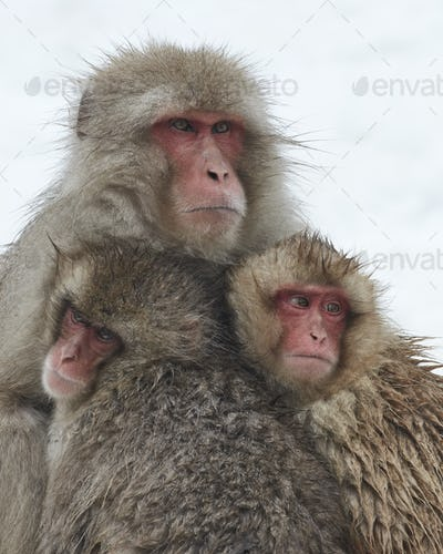 Japanese Macaque (Macaca fuscata) mother and two young huddling together for warmth in the winter