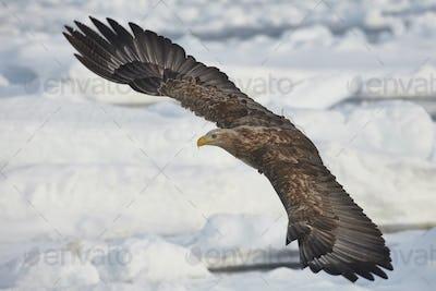 White-Tailed Eagle (Haliaeetus albicilla) hunting on frozen bay in winter.