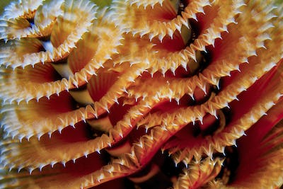 Close-up of a tube-building Christmas tree worm.  The worm is named based on its spiral shaped