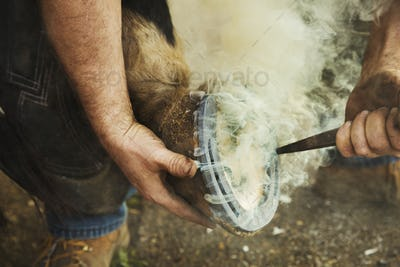 A farrier shoeing a horse, bending down and fitting a new horseshoe to a horse's hoof. Steam rising