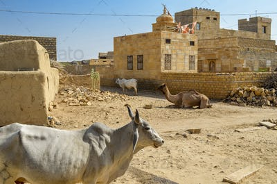 Cattle and camel on the path ina small rural village, Rajasthan, India.