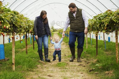 Fruit picking in a poly tunnel, PYO. A family and a baby boy walking between rows of strawberry