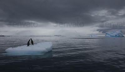 Gentoo penguins on an iceberg, Antarctica