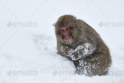 Japanese Macaque, a  snow monkey, Macaca fuscata in deep winter snow