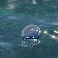 Man of War, also known as Portuguese Man of War (Physalia physalis)  is a jelly-like marine