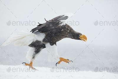 Steller's Sea Eagle (Haliaeetus pelagicus) landing on frozen bay in winter.