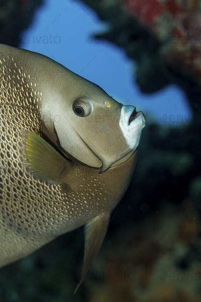 Close-up of a Gray angelfish on the coral reef in Key Largo.,Gray angelfish (Pomacanthus arcuatus)