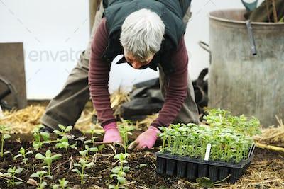 A woman bending planting seedling in an organic flower nursery.