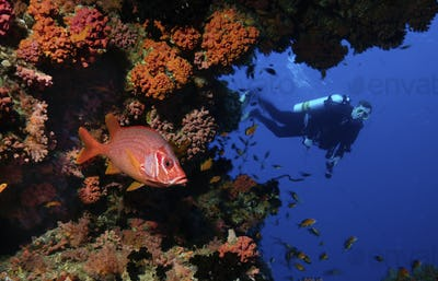 Scuba diver observing a brightly coloured Sabre squirrelfish among the coral.