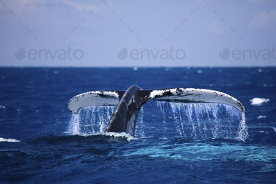 The powerful fluke of a Humpback whale (Megaptera novaeangliae) as it dives below the surface.