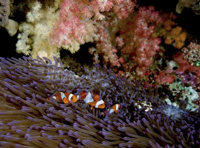 False Clown Anemonefish (Amphiprion ocellaris) in an anemone, Flabacet region, Indonesia,Clownfish