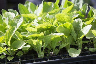 A tray of plant seedlings with fresh green leaves.