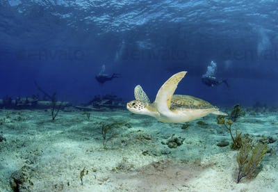 Green turtle, Chelonia Midas, lazily swims past the remains of the Sugar wreck, Bahamas