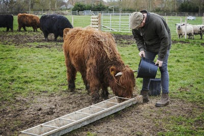 A man filling a feed trough for a group of highland cattle in a field.