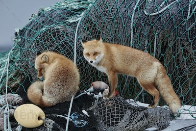 Two Ezo red fox (Vulpes vulpes schrencki) on heap of fishing nets in winter.
