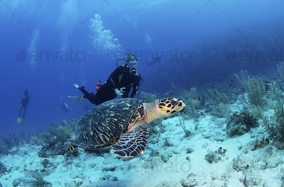 Scuba diver observing a Hawksbill turtle,Testudines Cheloniidae