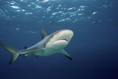 A curious Caribbean reef shark  (Carcharhinus perezii),Caribbean reef shark (Carcharhinus perezii)