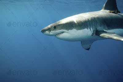 Great white shark (Carcharodon carcharias) underwater.