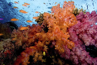 A harem of female Scalefin anthias flits above a vividly colored display of soft corals