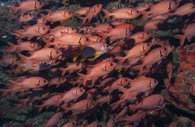 Large school of Whitetip soldierfish, French Polynesia.