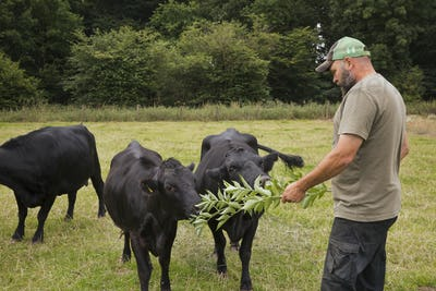 Man standing in a pasture, feeding three Dexter cattle calves with fresh branches and leaves.