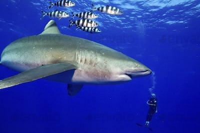 Diver and powerful predator,  Oceanic Whitetip Shark, Carcharhinus longimanus, accompanied by pilot