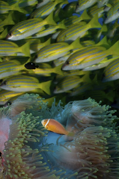 Maldives anemonefish (Amphiprion nigripes) in an anemone; Bluestripe snapper(Lutjanus kasmira)
