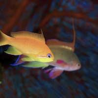 A jewel fairy basslet pair of fish underwater.