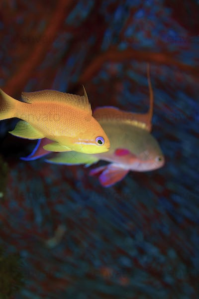 A jewel fairy basslet pair of fish underwater.