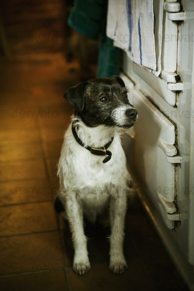 White and black Terrier sitting next to a stove in a kitchen.
