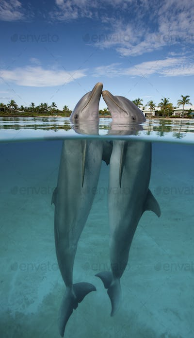 Atlantic Bottlenose Dolphin (Tursiops truncatus), nose to nose in the Dolphin Cay at the Atlantis
