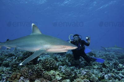 Scuba diver taking an underwater shot of a Silvertip shark (Carcharhinus albimarginatus).