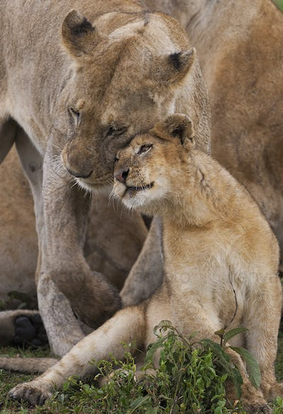 A lion cub and its mother, Panthera leo, rubbing cheeks and nuzzling in Serengeti National Park,