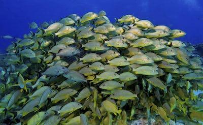 Large school of grunts in the Florida Keys National Marine Sanctuary,Schooling fish