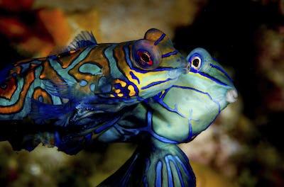 Two mandarinfish at dusk in mating ritual, displaying vivid colours, Tubbataha Reefs Natural Park. A