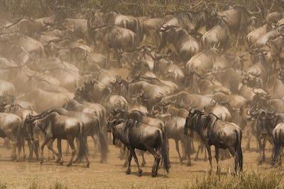 Wildebeests, Kenya