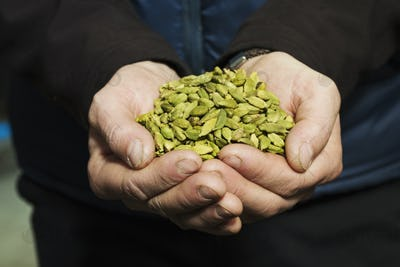 Close up of human hands holding cardamom pods used to flavour craft beers.