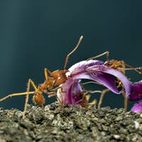 Leaf-cutter ants, Acromyrmex octospinosus, carrying flower petal in front of blue background