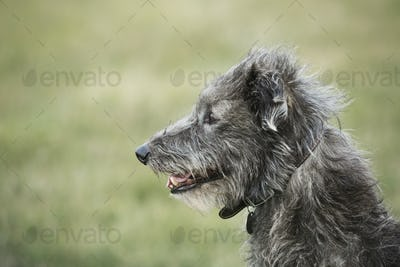 Close up of Scottish Deerhound sitting in a field.