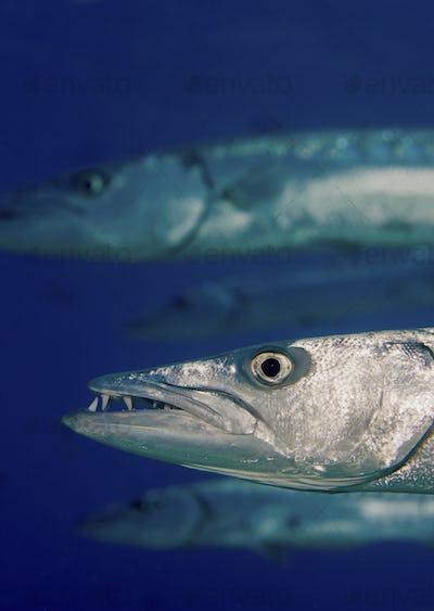 A school of Great Barracuda (Sphyraena barracuda), Florida Keys National Marine Sanctuary, Key