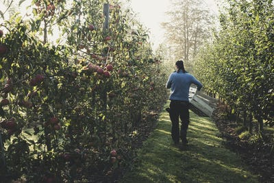 Rear view of man walking in apple orchard, carrying wooden crates. Apple harvest in autumn.